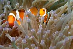 Clownfishes dans les anémones Photos stock