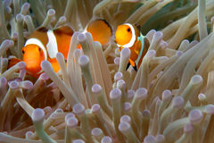 Clownfishes in den Anemonen stockfotos