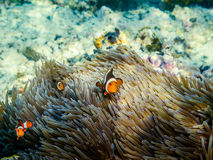 Clownfishes. Group of clownfishes at the corals Stock Image