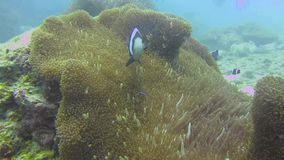 Clownfishes i anemoner stock video