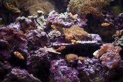 Clownfishes no aquário de Paris com anemones fotos de stock royalty free