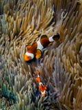 Clownfishes przy koralem Fotografia Royalty Free