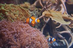 Clownfishes with sea anemone Stock Photos
