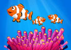 Clownfishes under the sea Stock Image