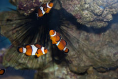 clownfishocellaris Royaltyfria Foton