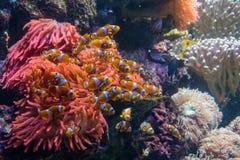Clownfishs με την κοραλλιογενή ύφαλο Anemones Στοκ φωτογραφία με δικαίωμα ελεύθερης χρήσης
