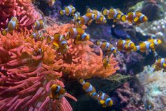 Clownfishs mit Anemonen Coral Reef Stockbilder