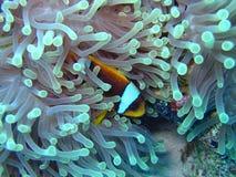 clownfisk Royaltyfria Foton