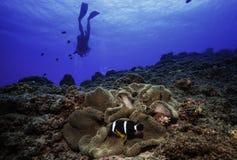 Clownfisk. Royaltyfri Fotografi