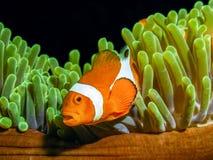Clownfisk av Nemo berömmelse, Ocellaris clownfish royaltyfria bilder