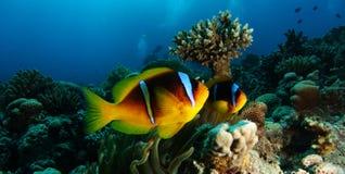 Clownfisk för två anemon nära tabellkorallen Fotografering för Bildbyråer