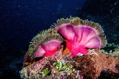 Clownfisk i anemon Royaltyfria Foton