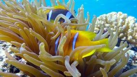 Clownfisk i anemonslut, Röda havet egypt Arkivbilder