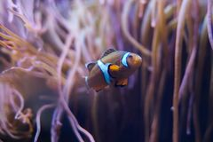 Clownfisk i hav-anemon Arkivbilder