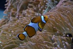 Clownfisk i havet Arkivbild