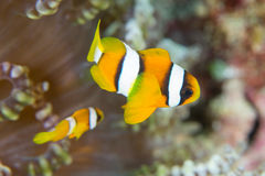 Clownfisk i Indonesien Royaltyfria Bilder