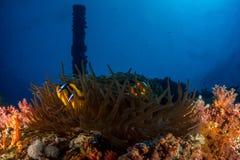 Clownfisk i Röda havet Arkivbild