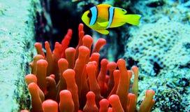 Clownfisk i Röda havet Royaltyfri Foto