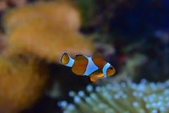 Clownfisk med olika koraller i den igenkännliga havsanemonen för bakgrund bestämt på den nedersta rätten arkivbild