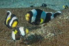 Clownfisk, medan se dig från anemon Royaltyfria Foton