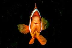 Clownfisk, medan se dig på den svarta bakgrunden Royaltyfria Bilder