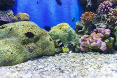 Clownfisk nära korall i akvarium Royaltyfri Bild