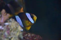 Clownfisk Nemo Anemonefish Fotografering för Bildbyråer