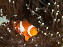 Clownfisk och anemon Royaltyfria Foton