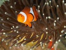Clownfisk och anemon Royaltyfri Fotografi
