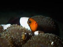 Clownfisk och anemon Royaltyfri Foto