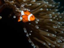 Clownfisk och anemon Royaltyfri Bild