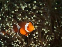 Clownfisk och anemon Arkivbilder