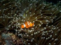 Clownfisk och anemon Arkivfoto