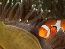 Clownfisk och anemon Royaltyfria Bilder