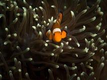Clownfisk och anemon Arkivfoton