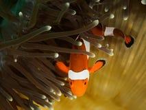 Clownfisk och anemon Arkivbild
