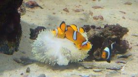 Clownfisk och korall Löst livdjur arkivfilmer