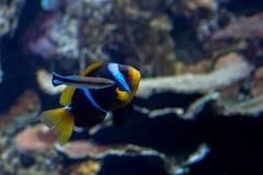 Clownfisk och mer ren fisk Royaltyfri Foto