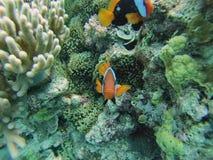 Clownfisk på den stora barriärrevet Royaltyfria Foton