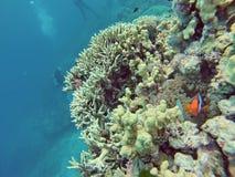 Clownfisk på ett korallhuvud på den stora barriärrevet Royaltyfria Bilder