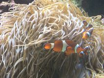 Clowning around. Clown fish amongst sea anemone stock images