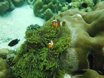 Clownish and Anemones Flower , Lipe Island Southern of Thailand Royalty Free Stock Images