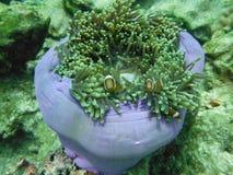 Clownish och anemoner, Lipe ö som är sydlig av Thailand Arkivbilder