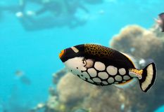 Clowntrig. Clown Triggerfish Royalty Free Stock Images