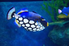 Clowntriggerfische Stockfoto