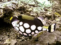 clowntriggerfish Arkivbild