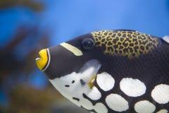 clowntriggerfish royaltyfri bild