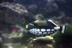 ClownTriggerfish Balistoides conspicillum i akvarium arkivbild