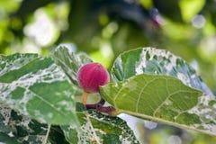 Clownvijgeboom met vruchten Royalty-vrije Stock Afbeeldingen