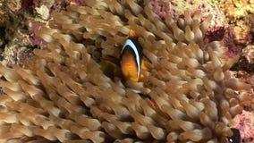 Clownvissen in Anemoon onderwater van Rode overzees stock video